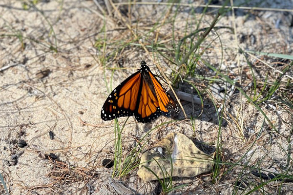 Monarch on Bois Blanc.