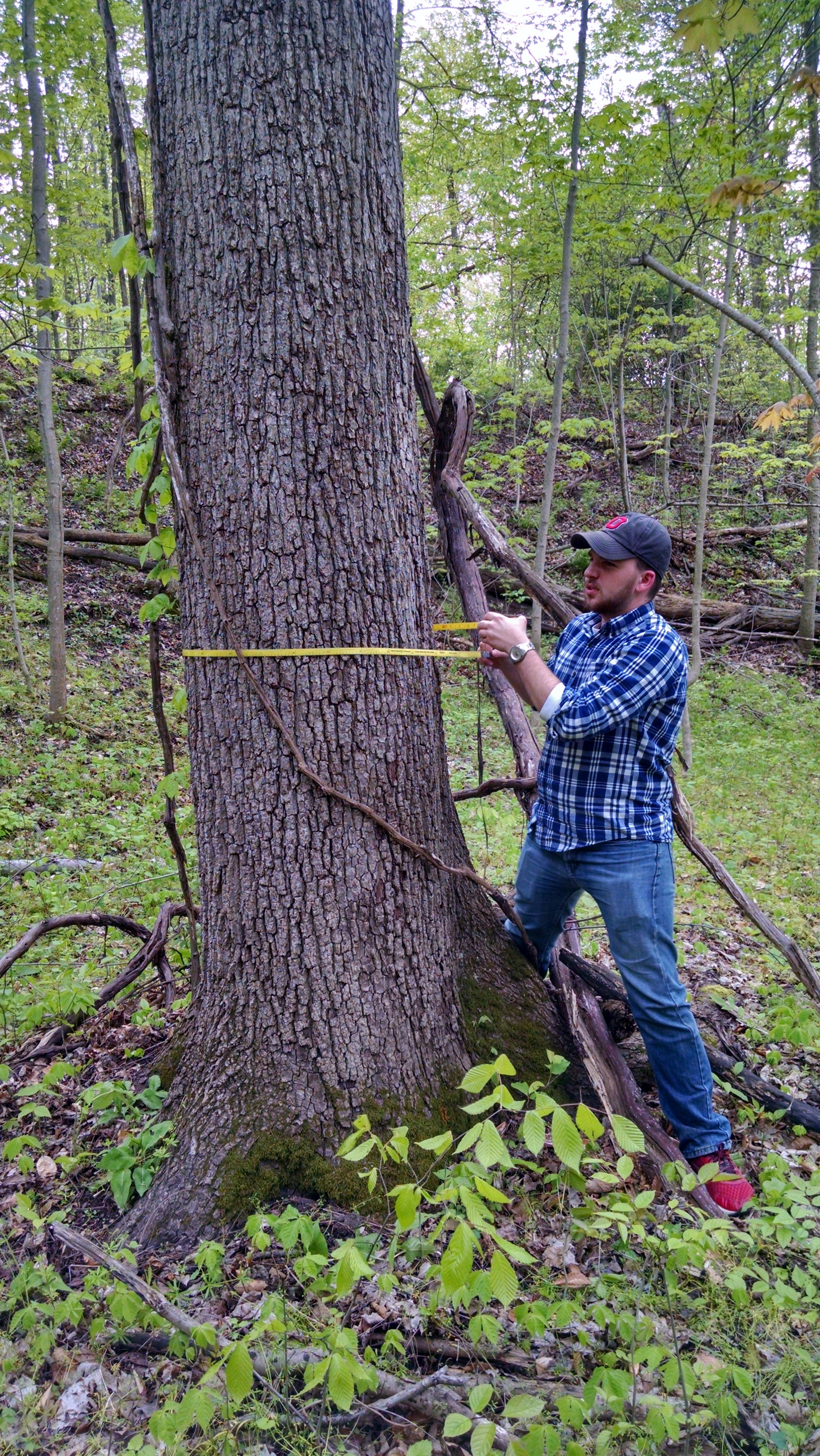 Measuring walnut trees during ENR 4900.02 Capstone Course on the OSU Mansfield campus (Photo by Sarah Rose)