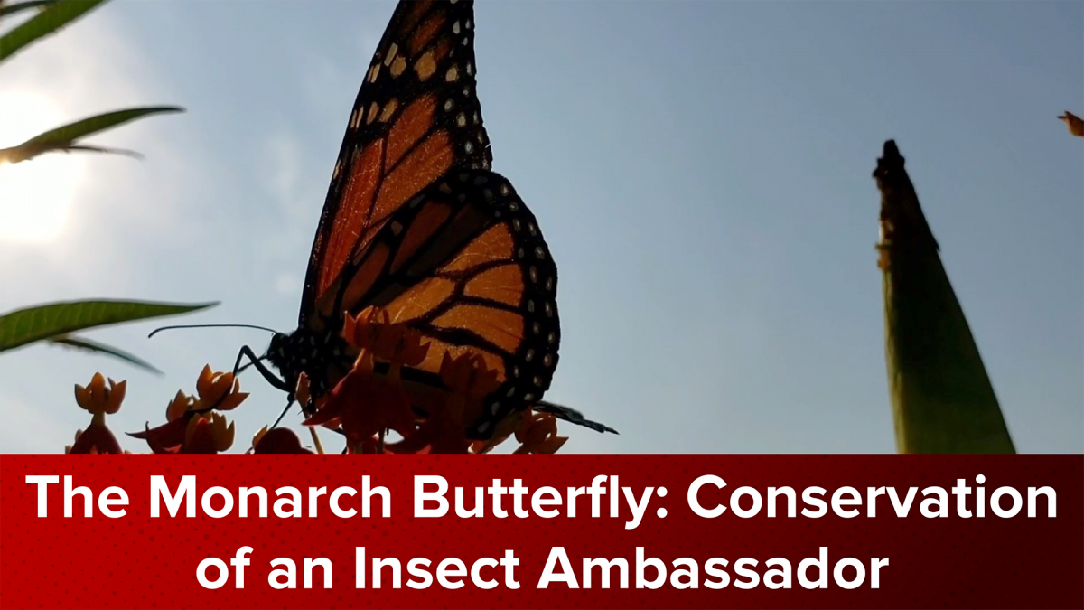 The Monarch Butterfly: Conservation of an Insect Ambassador