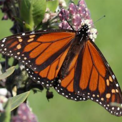 Storymaps - All About Monarchs: ENR 4900 Capstone Team