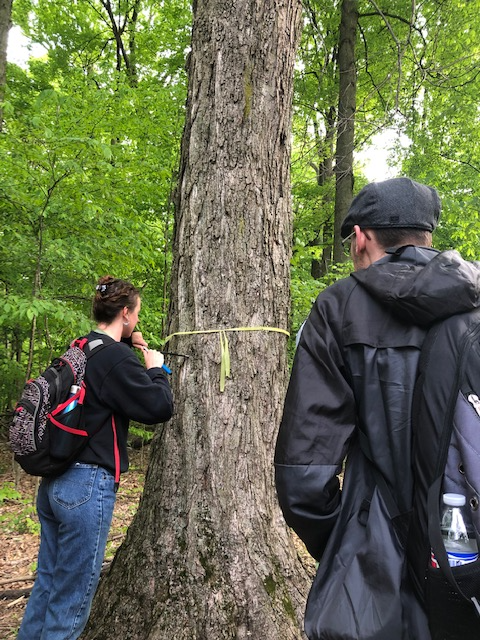 An ENR 4900.02 Capstone group uses an increment borer to extract a core and measure annual growth rate for sugar maple.