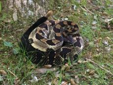 A new study of timber rattlesnakes seeks to better understand their habitat use and response to forest management and land use. (Photo courtesy of William Peterman)