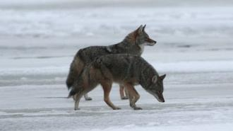 Science Bulletins: Urban Coyotes Mate for Life