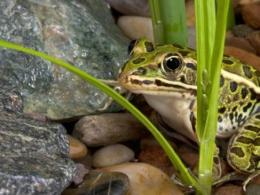 A Sept. 20 talk at the annual Farm Science Review trade show will look at Ohio's reptiles and amphibians, such as the leopard frog shown here, and how they help farmers and gardeners. (Photo: Getty Images.)