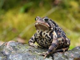 How to help denizens of wetlands, like this picturesque American toad? An upcoming workshop will show you. (Photo by Cephas licensed under GFDL or CC BY-SA 3.0 via Wikimedia Commons.)