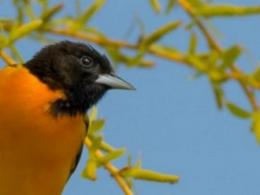 A March 25 workshop near Cincinnati will help you help your woods and what lives there, such as birds like this Baltimore oriole. (Photo: iStock.)