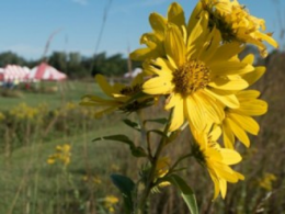 A prairie flower blooms in the Gwynne Conservation Area during the 2016 Farm Science Review. (Photo: CFAES.)