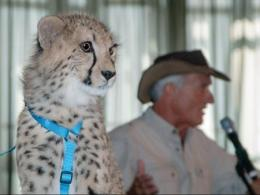 Jack Hanna, director emeritus with the Columbus Zoo, and one of the zoo's cheetahs hold forth in front of the Environmental Professionals Network on April 10, 2014. (Photo: Troy McGough.)