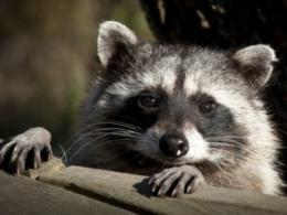 The Good, the Bad and the Hungry will show ways to live in peace with wild neighbors, including raccoons like this one. (Photo: cullenphotos, iStock.)