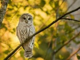 The Clintonville ravines in Columbus are home to a surprising range of wildlife, such as the barred owl shown here. (Photo: iStock.)