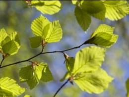 Diagnose Problems in Your Trees, Including New Beech Disease You are here Home » News » News Releases July 27, 2017 0   Ohio State's Tree Diagnostic Workshop is Aug. 4 in Mansfield. (Photo: American beech, iStock.)