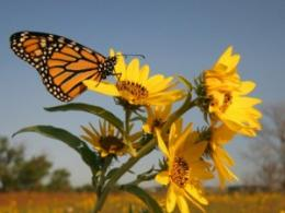 See woods, ponds and prairies, and prairie plant compadres like this monarch butterfly, in Farm Science Review's 67-acre Gwynne Conservation Area. (Photo from iStock.)