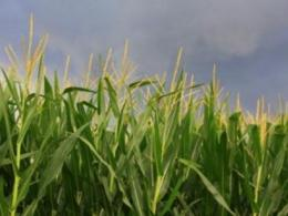 The five-year, multistate Sustainable Corn Project, whose partners included scientists from The Ohio State University, worked to make corn production more resilient in the face of climate change. (Photo: iStock.)