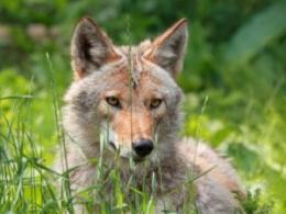 An upcoming event for city officials and others aims to help them better manage urban wildlife, including coyotes like the one shown here. (Photo: iStock.)