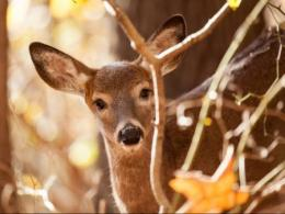 The annual conference of the Ohio Community Wildlife Cooperative is Nov. 8 at Ohio State. It's for city officials and others who work to manage conflicts with wildlife, like this white-tailed deer. (Photo: iStock.)