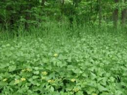 A workshop at Holden Arboretum in northeast Ohio will show how to control harmful invasive forest plants like this garlic mustard. (Photo: Leslie J. Mehrhoff, University of Connecticut, Bugwood.org.)