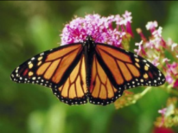 New plantings in Farm Science Review's Gwynne Conservation Area will benefit pollinators like this monarch butterfly. (Photo: iStock.)