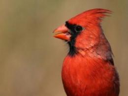 Do backyard feeders help — or possibly hurt — birds like this northern cardinal? A new study of nesting success says the answer is complicated. (Photo: iStock.)