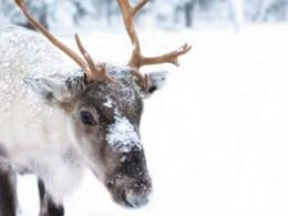 A reindeer walks in a field of snow. Its nose? You wouldn't really say it glows. But there's a weird, gross reason it could be red on the inside. (Photo: iStock.)