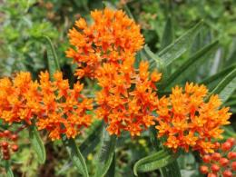 A native Ohio plant, butterfly milkweed attracts butterflies and is often utilized to enhance pollinator habitat. Photo credit: Gabriel Karns. Photo credit: Gabriel Karns