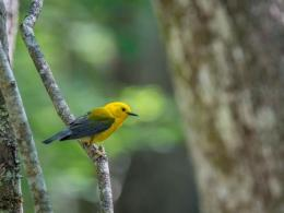 Prothonotary Warbler. Photo credit: Joan Eckhardt