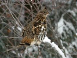 Ruffed grouse. Photo credit: Getty Images