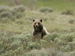 The grizzly, or brown, bear in the Greater Yellowstone Ecosystem is posed to lose protections under the Endangered Species Act. Photo credit:  Jim Peaco, Yellowstone National Park